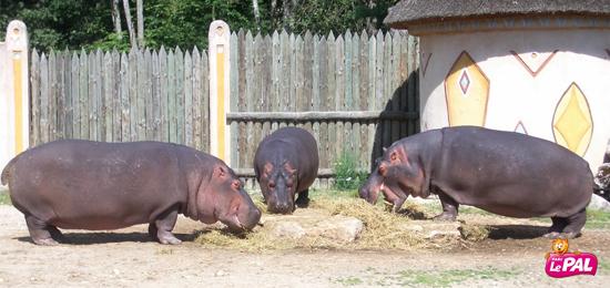 Auvergne-Allier-Le PAL-Hippopotames
