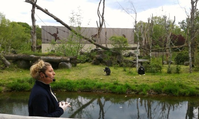 Le goûter des chimpanzés au PAL